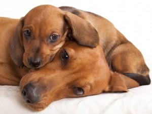 Zapoznanie szczeniaka ze starszym psem