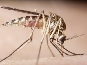 Zmodyfikowane genetycznie komary w walce z malarią