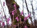 7 krzewów ozdobnych, które sprawią, że w twoim ogrodzie zrobi się wiosennie, gdy wokół jeszcze będzie szaro
