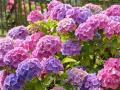 Hortensja - królowa balkonów i ogrodów