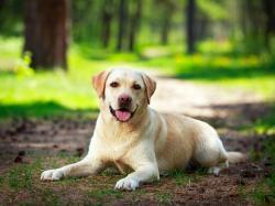 Czy labrador to pies dla ciebie?