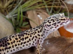 Egzotyczne zwierzątko dla nocnych marków – gekon lamparci