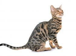 Kot bengalski zwany leopardetą