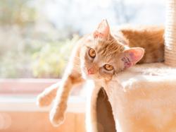 Kot cejloński - charakterystyka rasy