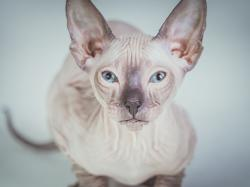 Kot sfinks - charakterystyka rasy