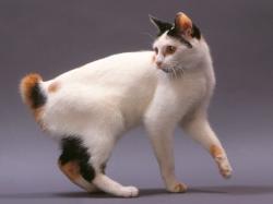 Kot toy bobtail - charakterystyka rasy