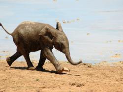 Słoń na szczęście