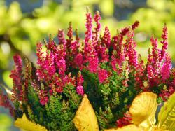 Wrzosy - tajemniczy urok jesieni