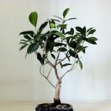 Fikus beniamin o delikatnej budowie i dużych liściach