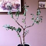 Grubosze drzewko o grubych liściach