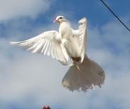 białe gołębie na ślub pomorskie