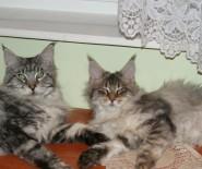 Domowa hodowla kotów rasy maine coon
