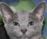 Hodowla Kotów Rosyjskich Niebieskich i Abisyńskich
