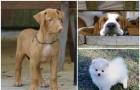 Najdroższe rasy psów - top 10