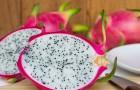 Smoczy owoc czyli pitaja: jak wygląda? Gdzie ją kupić? Jak serwować?