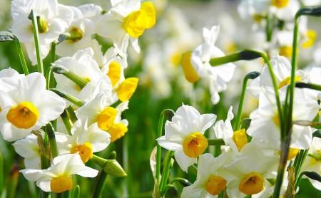 Rośliny cebulkowe - wiosenny poradnik ogrodnika