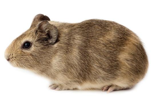 Кавиотерапия - морские свинки в терапии