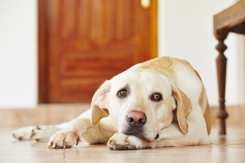 zapalenie ucha psa