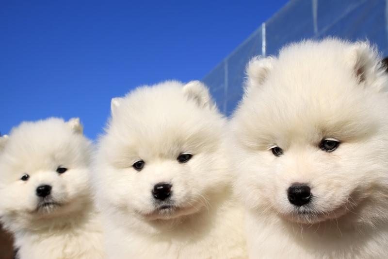 Pies Rasy Samojed Pupil Dla Osób Aktywnych Zwierzęta Polkipl