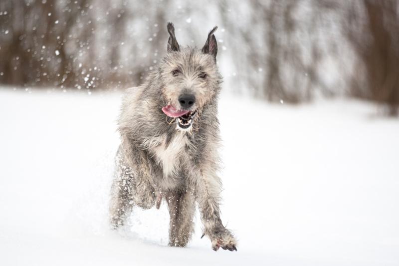 wilczarz irlandzki
