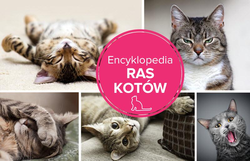 encyklopedia ras kotów