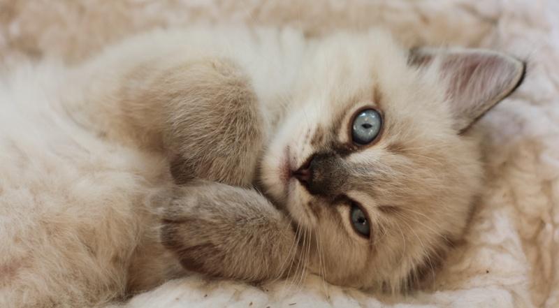 Kot Birmański Charakterystyka Rasy Zwierzęta Polkipl