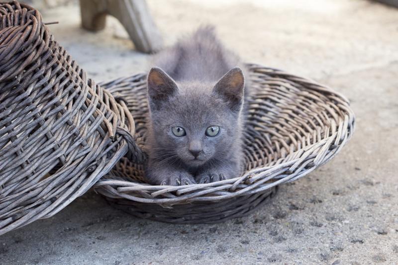 Kot Rosyjski Niebieski Niebieskie Oczy