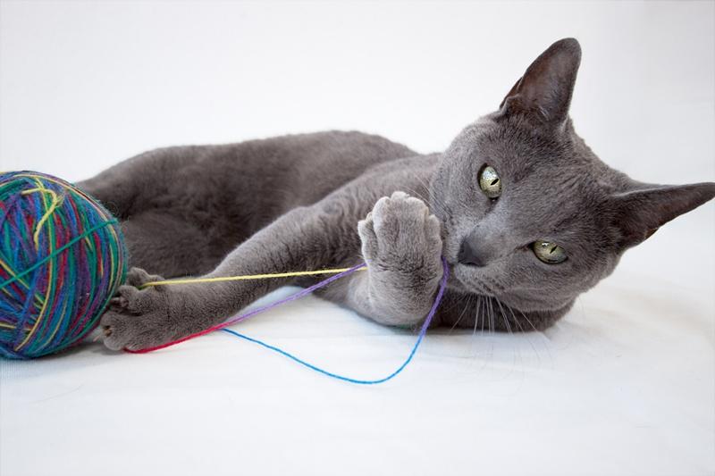 Kot Rosyjski Niebieski Charakterystyka Rasy Zwierzęta Polkipl