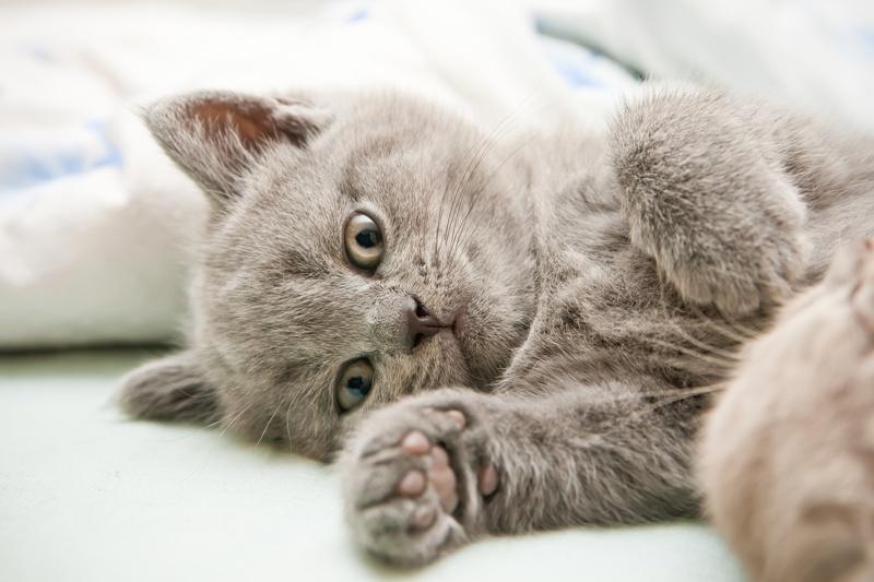 Kot Brytyjski Krótkowłosy Charakterystyka Rasy Zwierzęta Polkipl