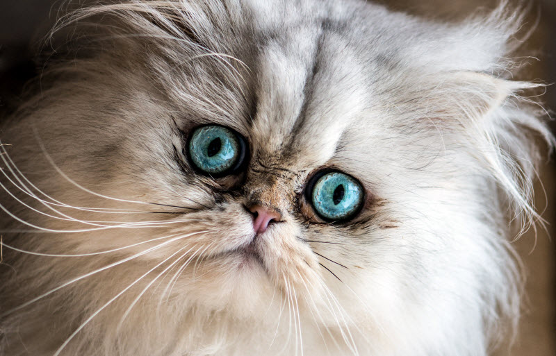 Kot Perski Charakterystyka Rasy Zwierzęta Polkipl
