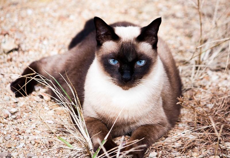Kot Syjamski Charakterystyka Rasy Zwierzęta Polkipl