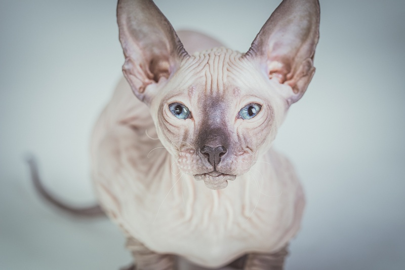 Encyklopedia Ras Kotów Poznaj Charakter I Zapotrzebowania Twojego
