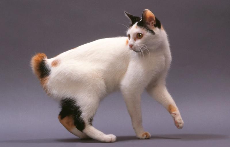 Encyklopedia ras kotów - kot toy bobtail