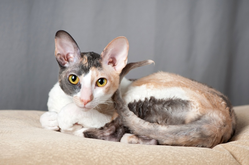 Encyklopedia ras kotów - kot cornish rex