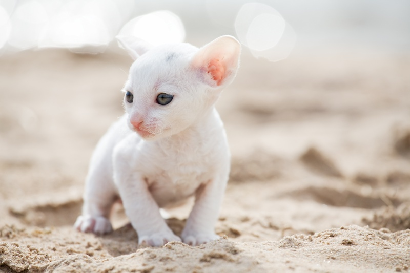 Kot Cornish Rex Charakterystyka Rasy Zwierzęta Polkipl