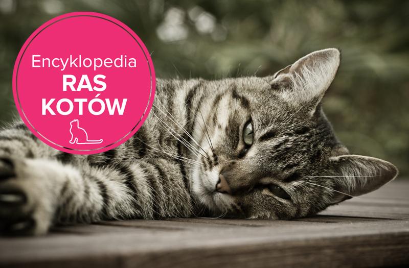 Zaawansowane Kot europejski krótkowłosy - charakterystyka rasy - Zwierzęta IH32