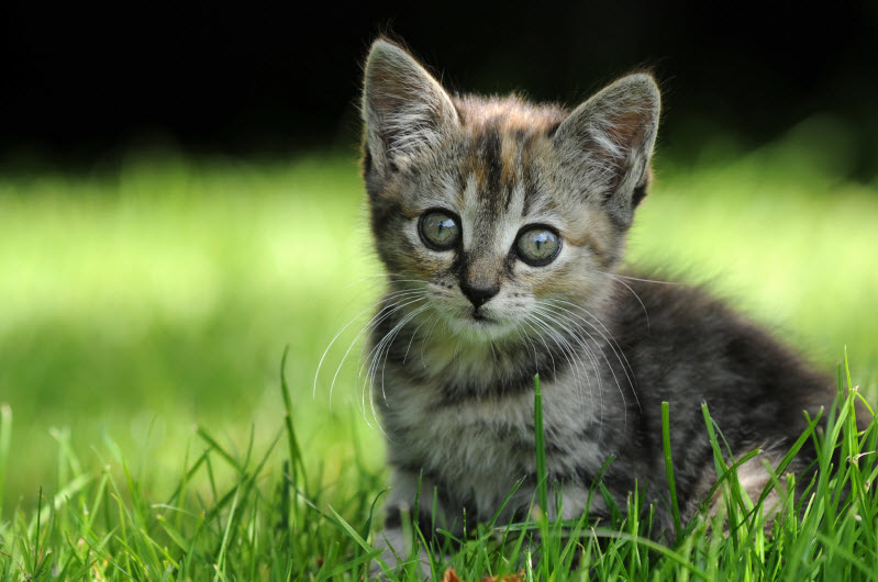 Kot Europejski Krótkowłosy Charakterystyka Rasy Zwierzęta Polkipl