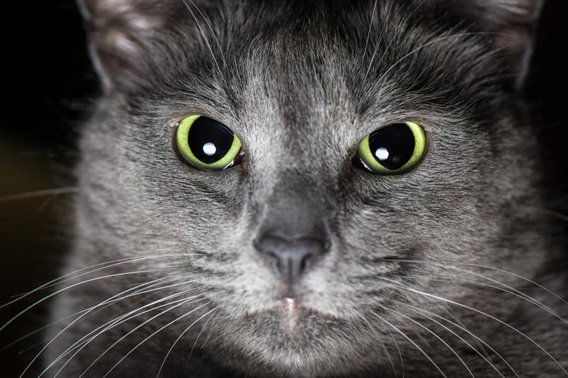 Kot Korat Charakterystyka Rasy Zwierzęta Polkipl