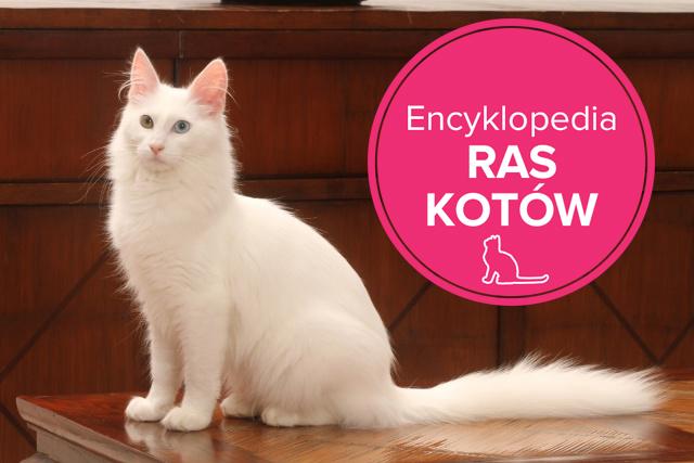 Masywnie Kot turecki angorski - charakterystyka rasy - Zwierzęta - Polki.pl FZ16