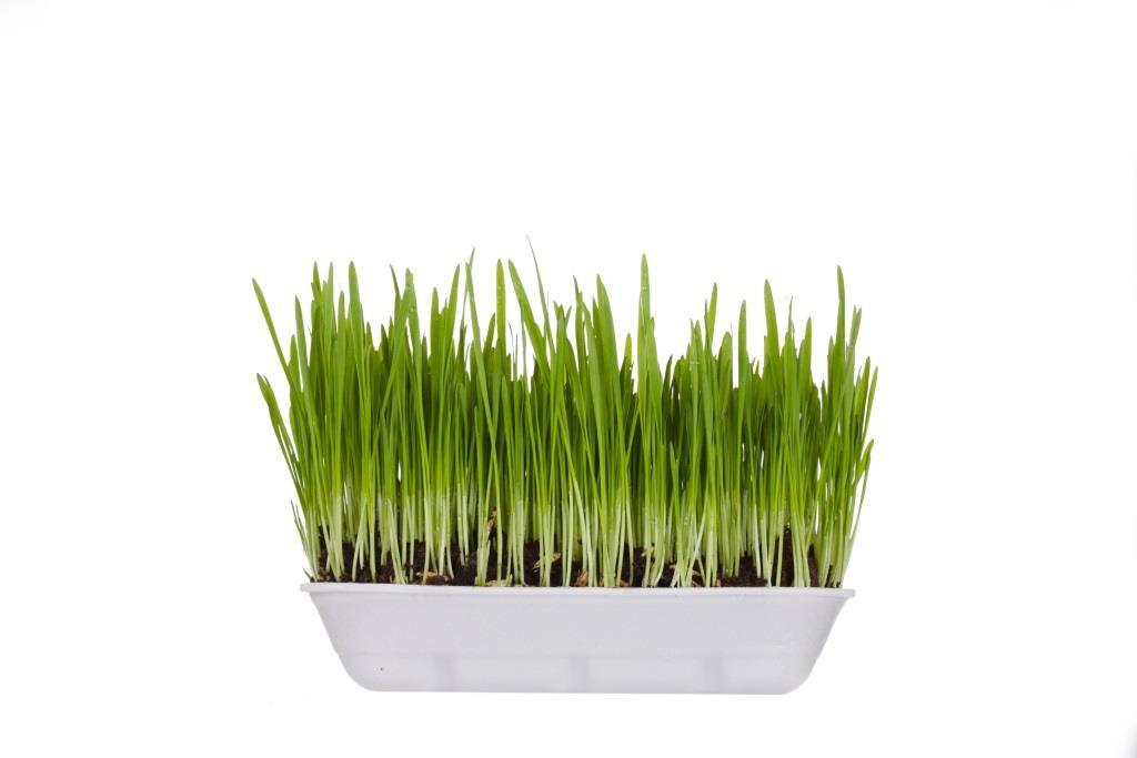 zielony jeczmien skutki uboczne