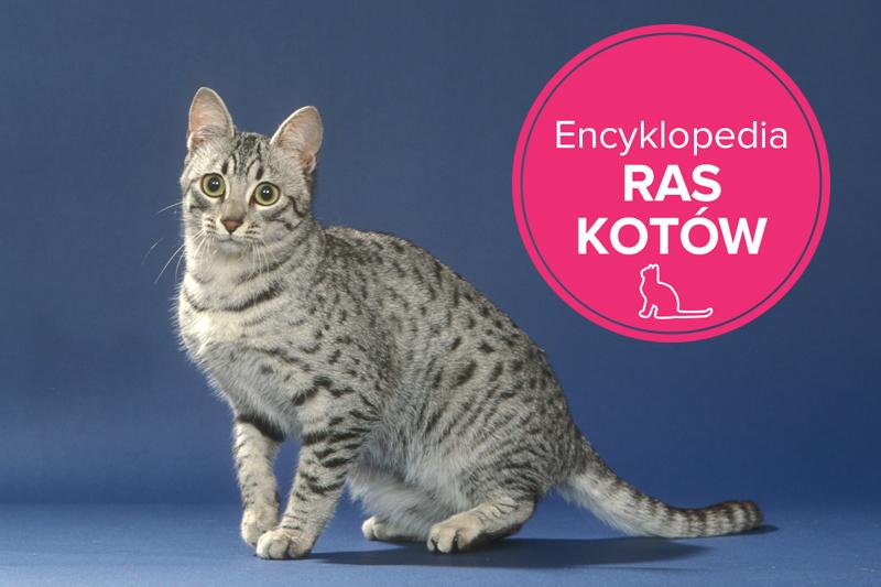 Kot Egipski Mau Charakterystyka Rasy Zwierzęta Polkipl