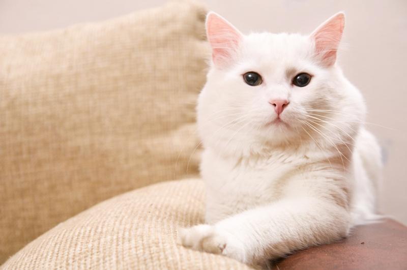Kot Turecki Angorski Charakterystyka Rasy Zwierzęta Polkipl