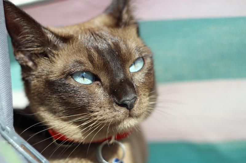 Encyklopedia ras kotów -kot tonkijski