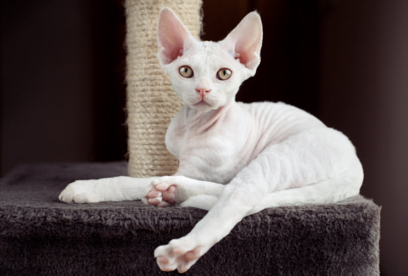 Encyklopedia ras kotów - devon rex