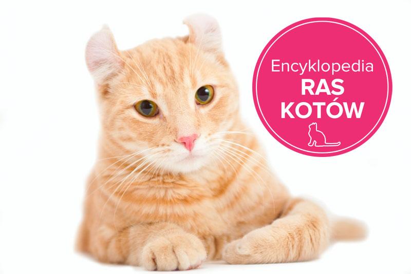 Kot Amerykański Courl Krótkowłosy Charakterystyka Rasy Zwierzęta