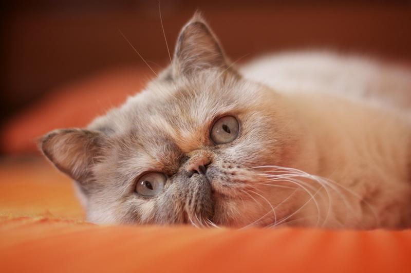 kot egzotyczny