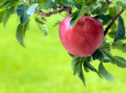 Jak sadzić i uprawiać drzewka owocowe?