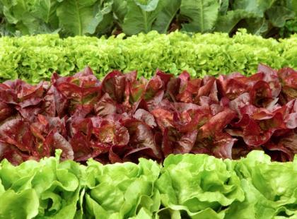 Jak uprawiać sałatę?