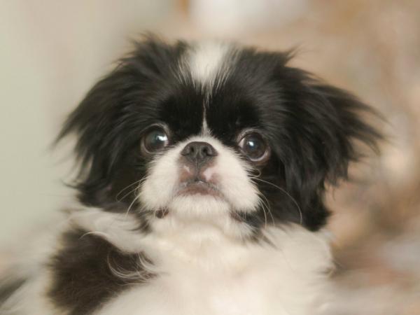 Młodzieńczy 10 ras psów małych do mieszkania. Może tutaj znajdziesz pupila JE26
