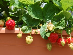 4 warzywa i owoce, które możesz hodować na balkonie